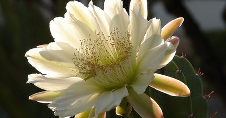 Propagación de la reina de la noche. La reina de la noche (Epiphyllum oxypetalum) no es una planta particularmente atractiva, con sus tallos largos y flexibles que son planos, articulados y lucen como una enredadera ya que se arrastran a los lados de la maceta. La recompensa de cultivar esta planta la obtienes cuando florece porque produce unas flores asombrosas de aroma dulce. La ...