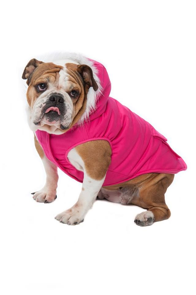 Introducing a winter parka specially designed for the beloved #Bulldog! This new size 20+ is available in our Winter Wilderness Jacket in black, red and stylish hot pink!
