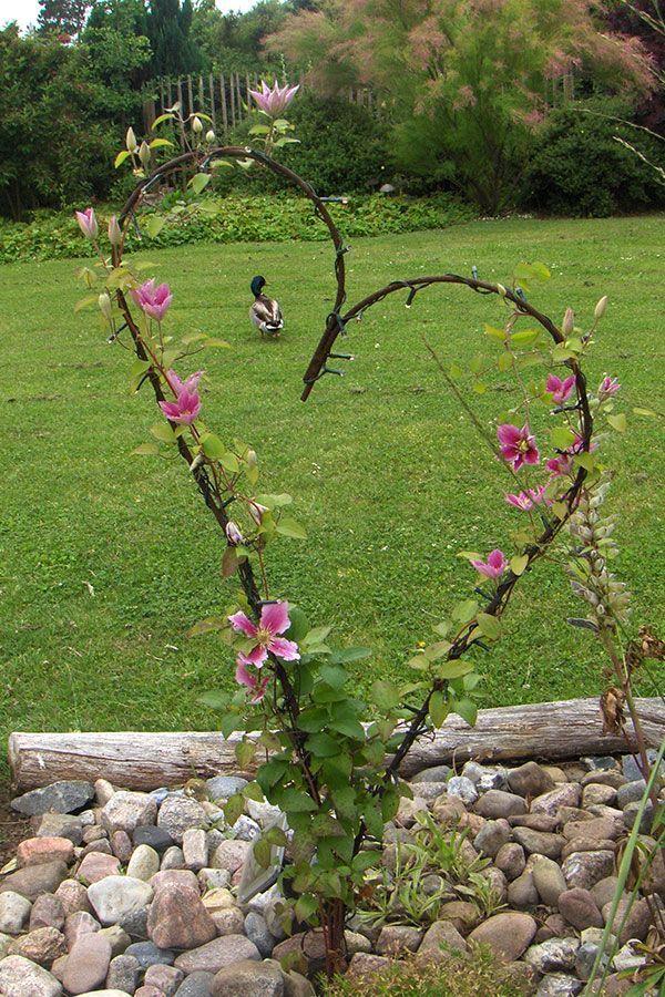Hier ist eine niedrige Waldrebe, gepflanzt 1 m vor einem eisernen Herzen, als