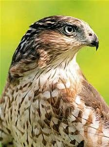 types of midwest hawks - Bing Images
