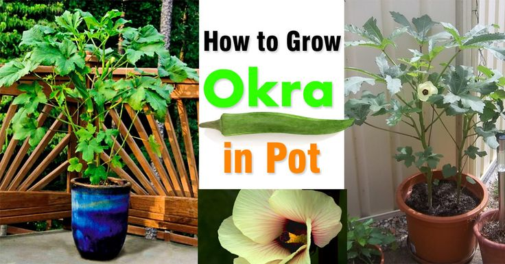 Okra is a delicious vegetable that is low in calorie and good for health. You don't need a lot of space to plant it. See how you can grow okra in a pot