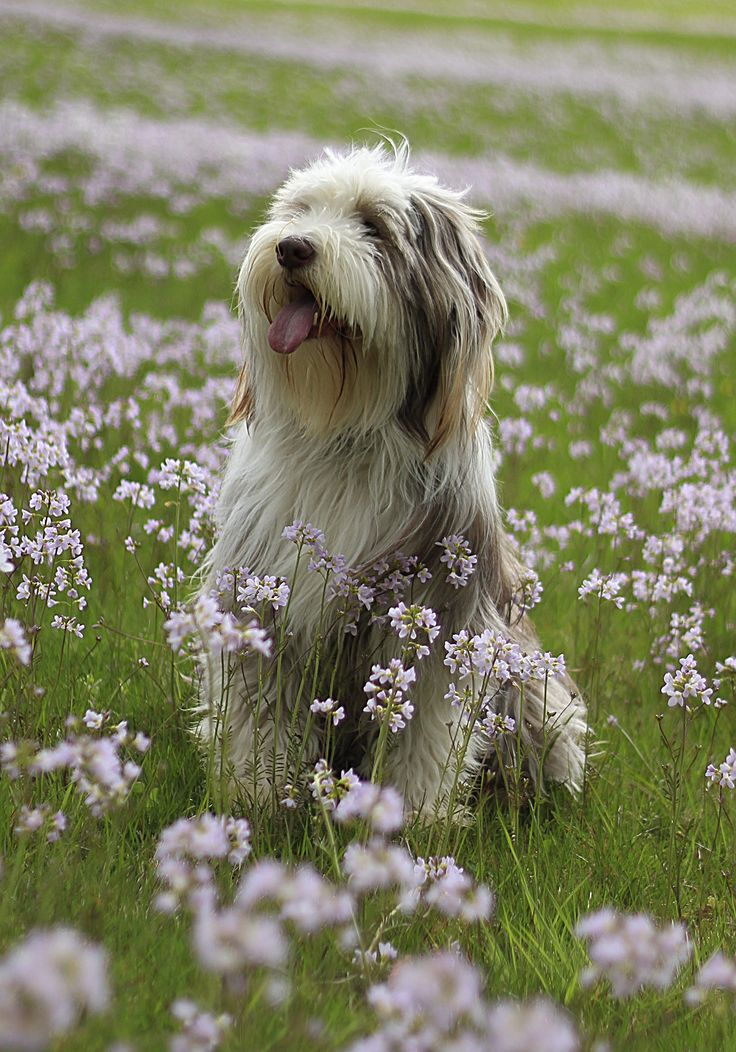 Bearded Collies are boisterous and bouncy, with a more athletic build than similarly-shaggy English Sheepdogs. They love the outdoors (in any climate!) and do well with children.
