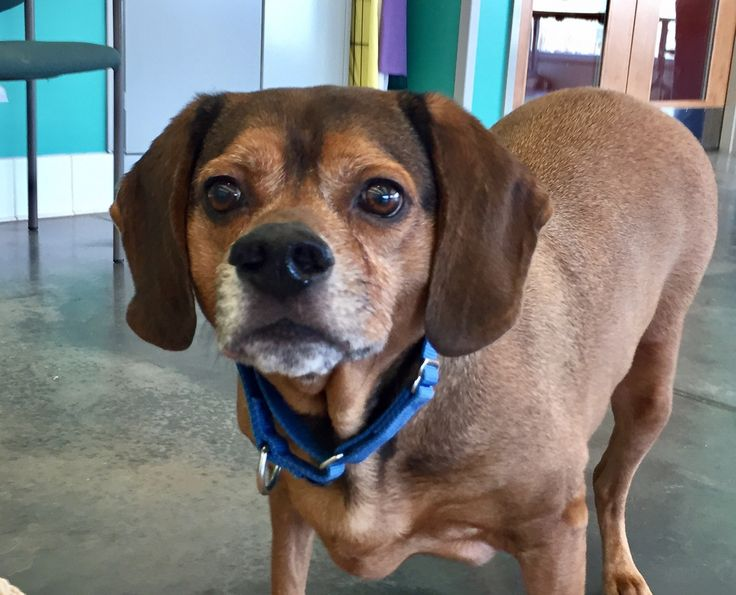 Spalding is an adoptable beagle searching for a forever family near Pittsburgh, PA. Use Petfinder to find adoptable pets in your area.