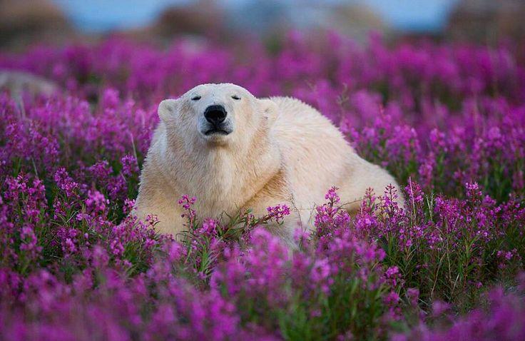 Foto di spensierati orsi polari che se la spassano tra i campi di fiori durante l'estate