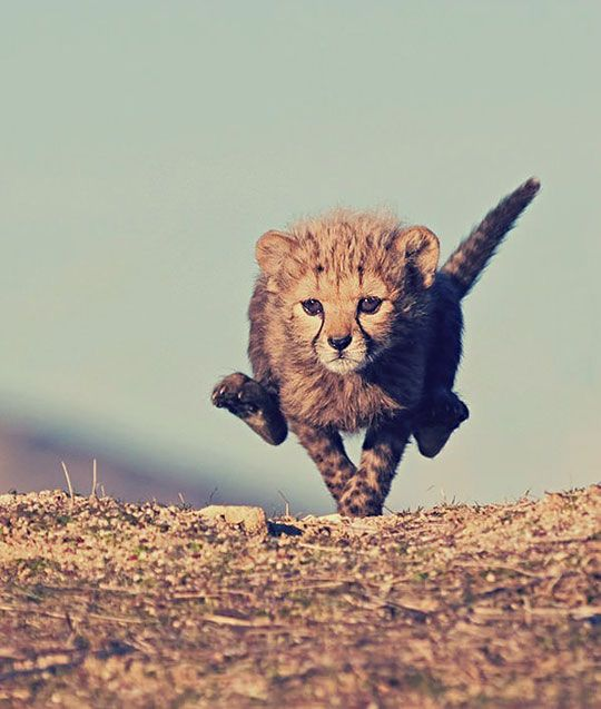 Baby Cheetah, Full Speed                                                       …