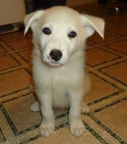 Hi there! My name is Oso Blanco. I'm a 3 month old Husky/Spitz mix that's 7 lbs. I was found hiding under a car with a blue stain on my coat. The vet found scars & thinks I was a paintball target. I'm very sweet guy who loves people! I like to cuddle and fall asleep in your lap. I'm still timid at times, but I like other dogs. I will be neutered and up to date on all my shots & am ready to find my new home. Will you adopt me and give me a second chance?