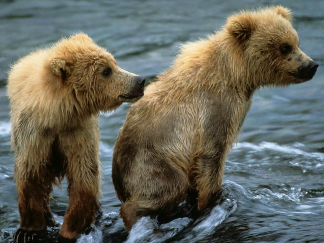 Wet Brown Bear Cubs from the World Wildlife Federation