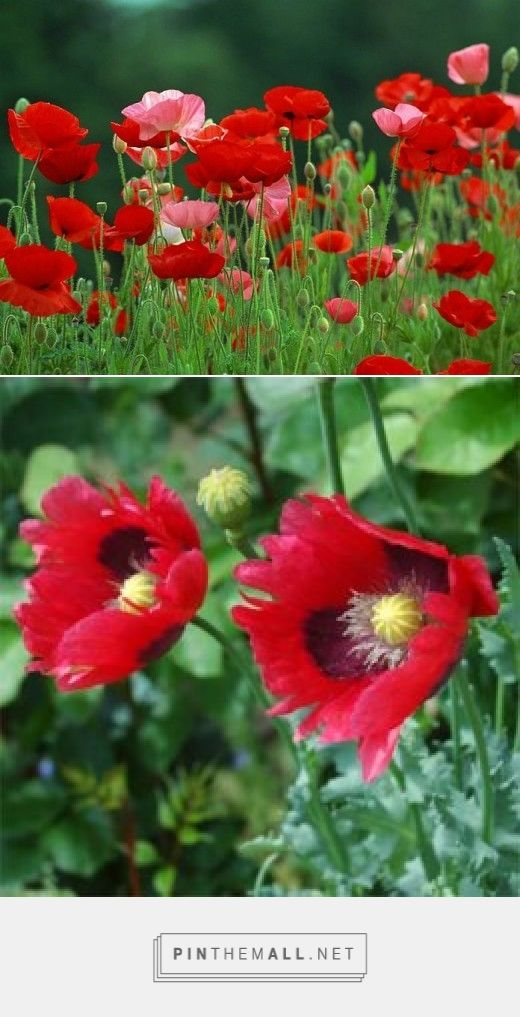 How to Grow Poppies from Seed ...