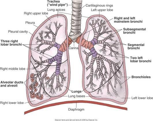Pulmonary Parenchyma