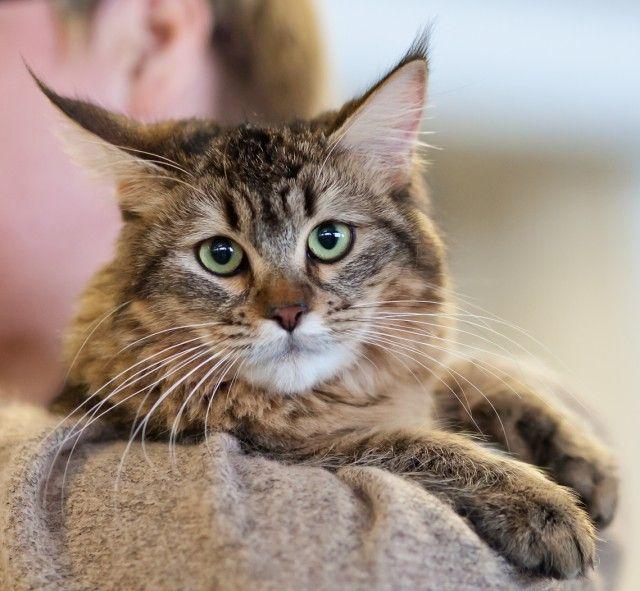 Pixie-Bob Cat Breed Profile #cats #catbreeds #pixebobcat (Article from www.MetaphoricalPlatypus.com; Pixie-Bob Cat Photo by Heikki Siltala, catza.net)