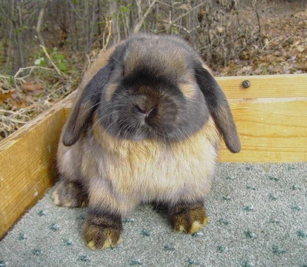 has a great bone structure and nice head this is tortise shell colored holland lop i have on that looks just like this her name is sparkles