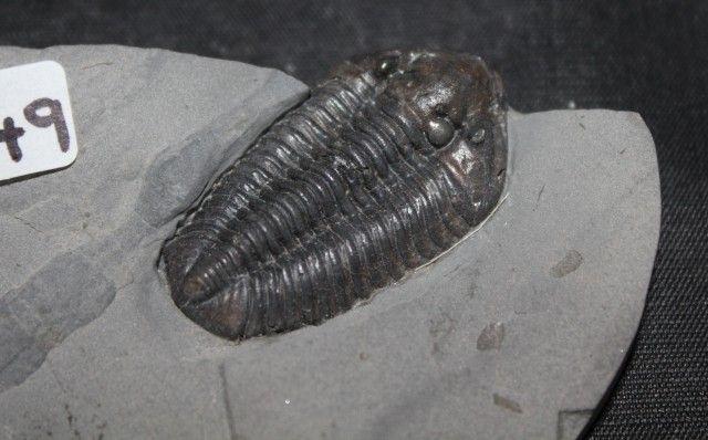 TRILOBITE CALYMENE NIAGARENSIS, New York (GR249)  TRILOBITE FOSSIL,  FROM FOSSILS FROM GEMROCKAUCTIONS.COM