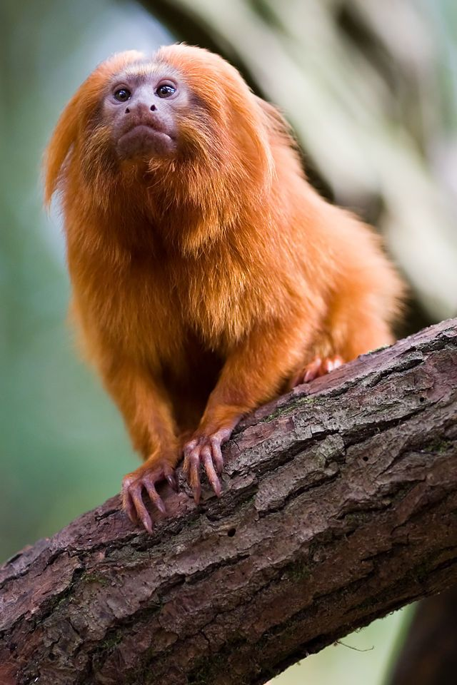 Golden lion tamarin                                                                                                                                                                                 More