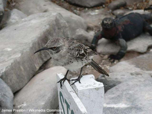 Le comportement parasitaire extrême de certains Moqueurs d'Española | Certains individus de cette espèce endémique des Galápagos blessent les Iguanes marins pour boire leur sang (photo : James Preston / Wikimedia Commons).