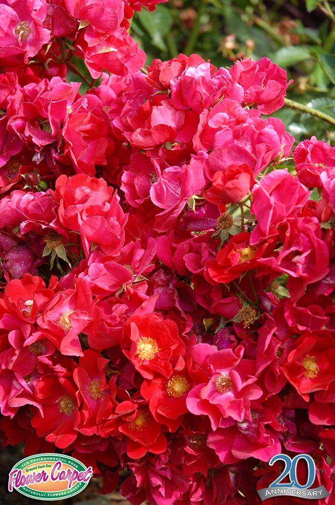 20 best Flower Carpet Pink Splash Roses images on ...