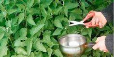 Esta planta é maravilhosa.Ela é rica em propriedades e é capaz de realizar muitas curas.Fácil de encontrar em muitos lugares, é uma importante fonte de vitaminas, minerais, clorofila e ácidos orgânicos.