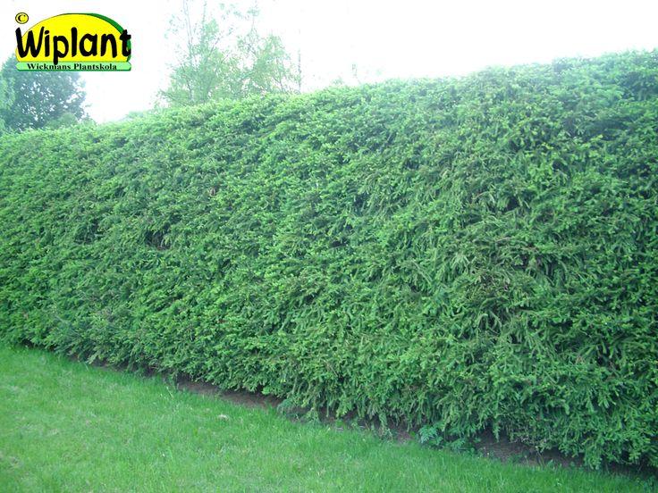 Picea abies, Gran. Mycket fin men kräver noggrann skötsel för att bibehålla sin form. Kan ej föryngringsbeskäras. 1-3,5 m hög. Bör klippas.