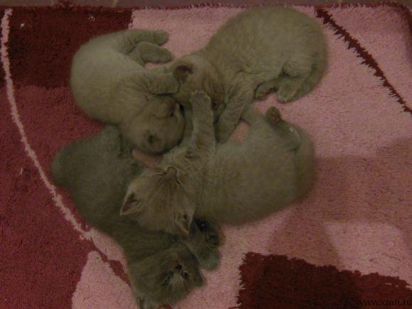 Воронеж: Британские котята чистокровные. Медвежий тип, короткошерстные, плюшевые, прямоухие. К еде и туалету приучены. Окрасы песочный и серый. 1,5 месяца. Мальчики и девочки. Недорого продаю