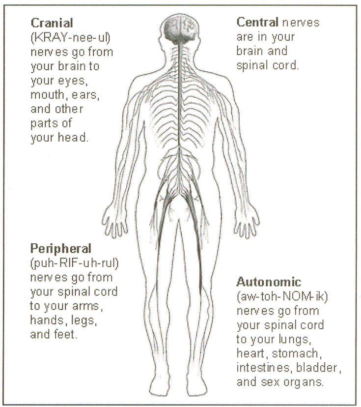 15 best The Nervous System images on Pinterest | Nervous system ...