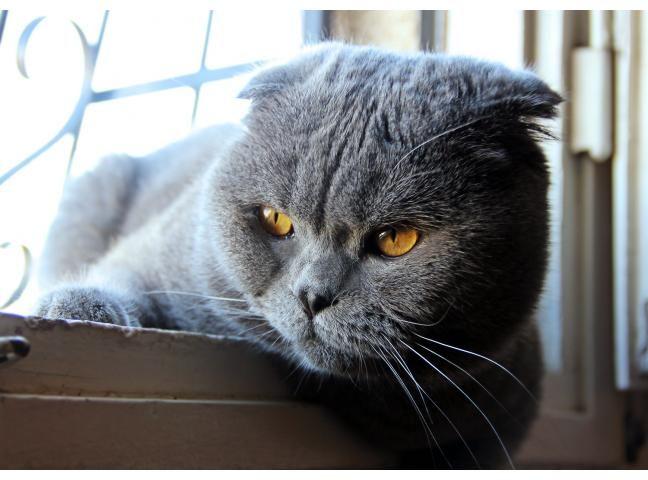 Опытный шотландский вислоухий кот  3 года  ищет для вязки британскую