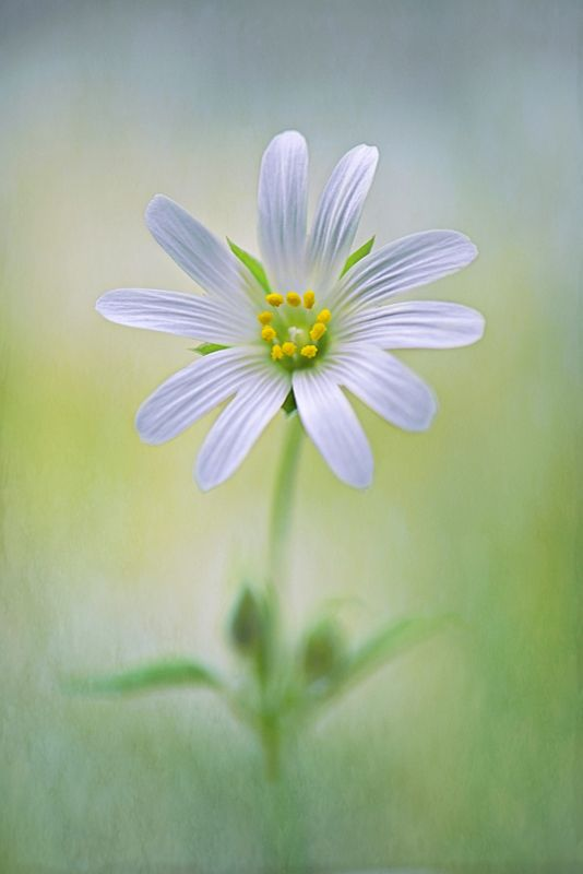 """Little Stitchwort"" by Jacky Parker    A single white spring flowering Greater Stitchwort flower - Stellaria holostea with soft texture added for a painterly feel."