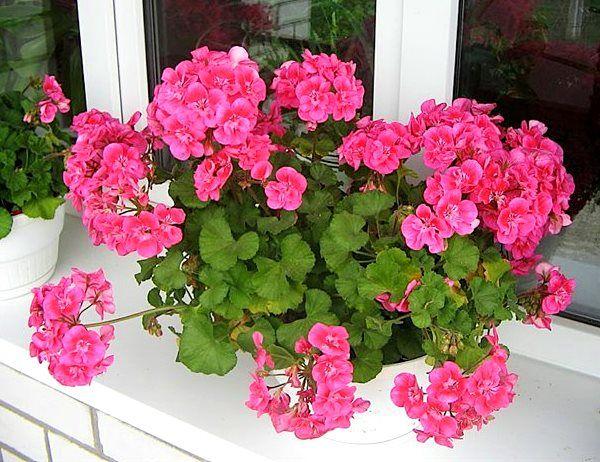 Suseda s tými najkrajšími muškátmi v okolí prezradila svoj trik: Stačí kvapka tejto tekutiny a budú doslova obsypané kvetmi!