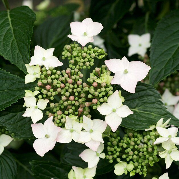 How To Choose And Care For The Most Colorful Hydrangeas In 2020 Hydrangea Care Types Of Hydrangeas Hydrangea Shade