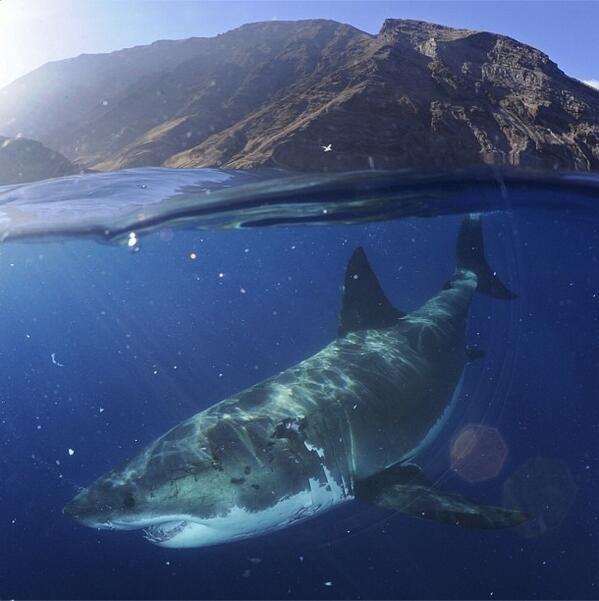 Great white shark my fandom is random pinterest for Guadalupe island fishing