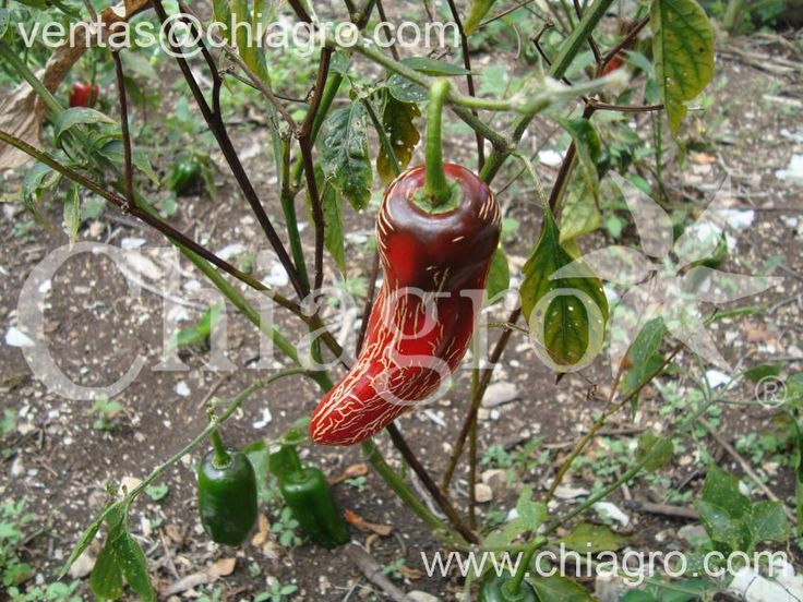 46 best ¡El auténtico Chile rayado seco ahumado! images on ...