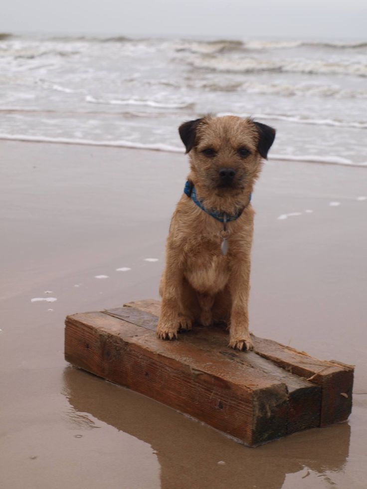 Border Terrier Eddie at the beach of Texel