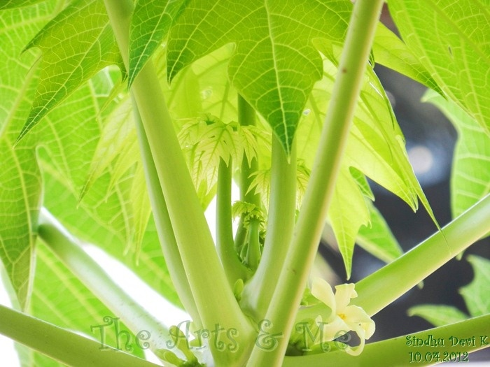Papaya leaves @ http://sindhudevik.blogspot.in
