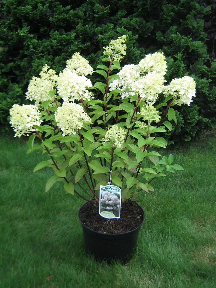 hydrangea paniculata 39 bobo 39 google search mayro. Black Bedroom Furniture Sets. Home Design Ideas
