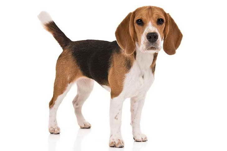 Akc Beagle