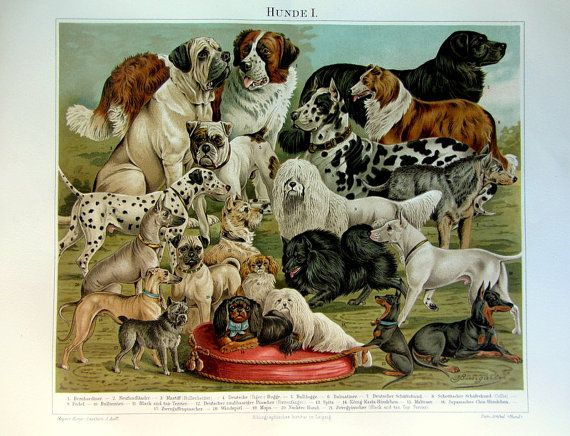 1895 antique fine lithograph of dogs,original vintage color dogs engraving, different species of dogs plate illustration.