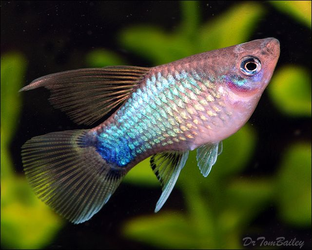 A young Hifin Blue Mickey Mouse Platy for sale at AquariumFish.net, where shopping for Platys is fun.