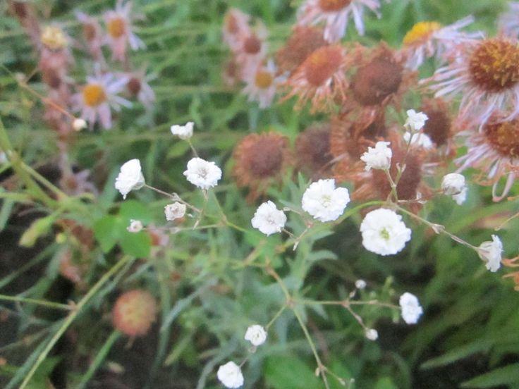 Словно капельки висят в воздухе цветки гипсофилы, окутывая полупрозрачным облаком небольшой куст. Из-за этого в Англии ее называют «дыханием ребенка», а в Германии «вуалью невесты». Махровые формы гипсофилы получают при помощи размножения черенками или делением. В мае-июне до начала роста соцветий нарезаются молодые побеги – черенки. Их обязательно обрабатывают присыпкой.