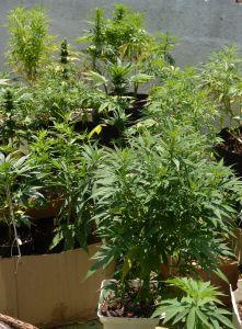 Des cartons ont été utilisés pour protéger les pots du soleil, les racines de nos plantes de cannabis pouvant facilement souffrir de la chaleur