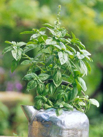 Fav fresh herb.