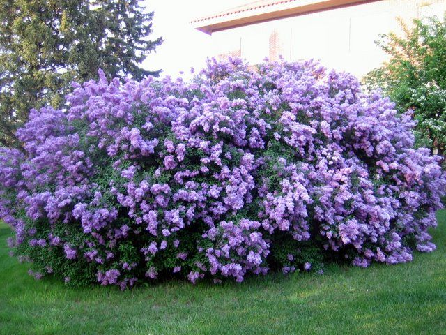 LILAC BUSH: 1) Attracts Butterflies 2) Grow 5 - 15 feet tall 3) Aromatic 4) Comes in 7 colors & blooms in spring/summer