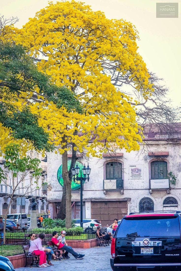 Casco Viejo, Ciudad de Panamá. bajo la sombra del árbol de guayacán florido.
