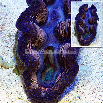 South Pacific Cultured Crocea Clam