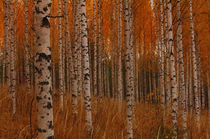 Birch forest, Finland.