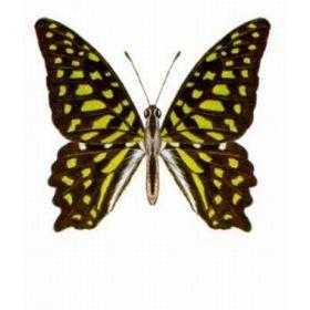 Vlinders :: Graphium agamemnon