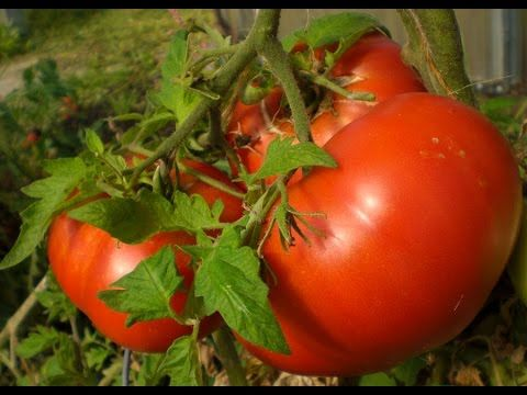 Better Tomato Growth Through Effective Pruning Published on May 21, 2016 Do you want bigger, better and more juicy tomatoes on your tomato plant? I certainly do. In this short video I will show a few tips to accomplish this and focus the energy of the plant on the fruit instead of the leaves. In the end, the tomato plant can only produce so much energy for both the fruit and the leaves.