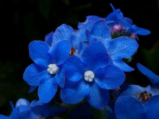 Blue Hawaiin Flowers Tiny Flickr Photo Sharing