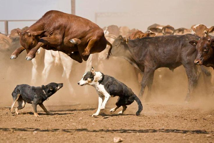 Cattle dogs at work.