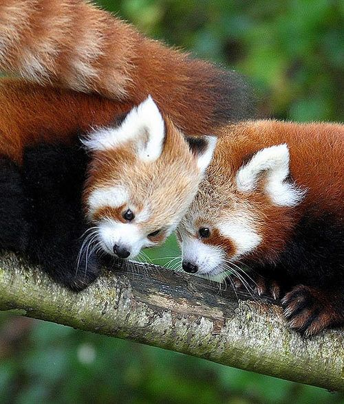 Red Pandas are little ferrets kind of these ones r cuuute