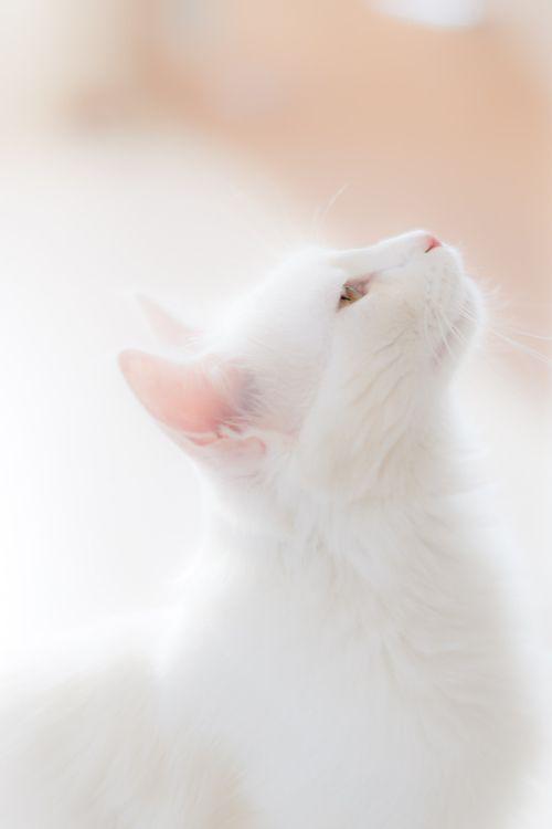 White, beautiful cat