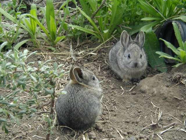 Pygmy rabbit - so cute...