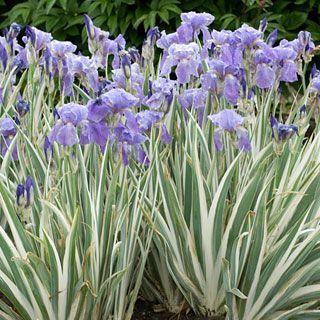 Dalmatian Iris | Firefly Garden | Pinterest